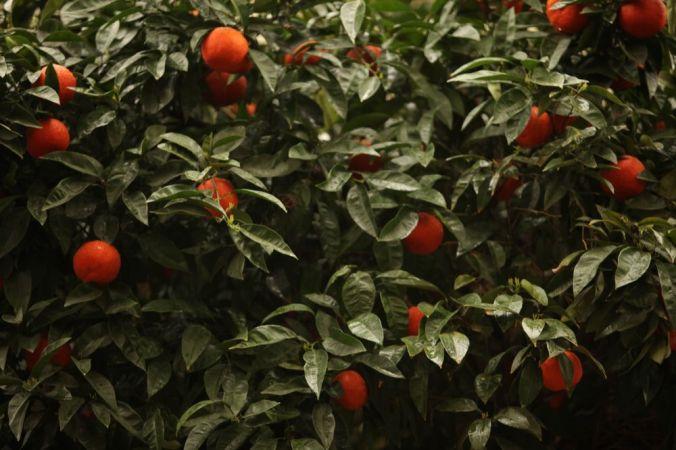 Oranges Grow on Trees. Sanne Kurz Kamera